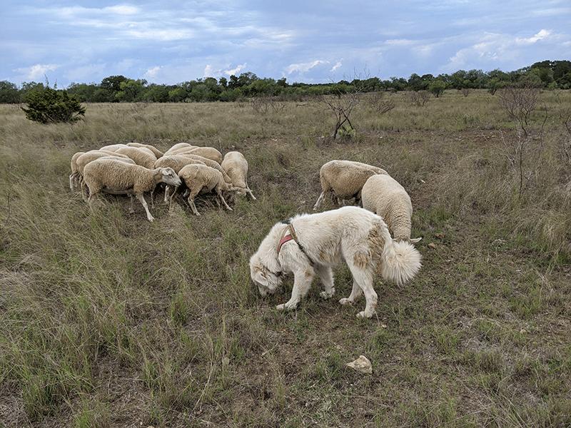 LGD LiveStock Guarding Dog Working GPS