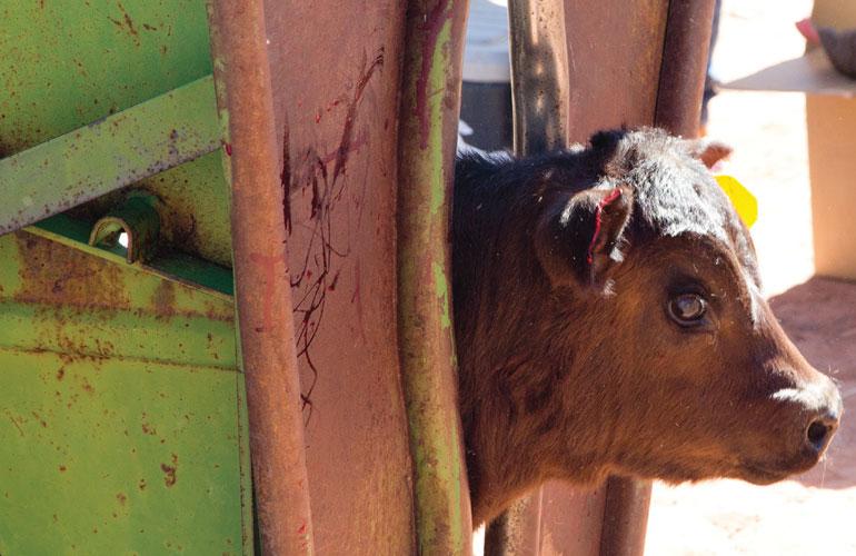 Cattle GPS Tracker in head gate